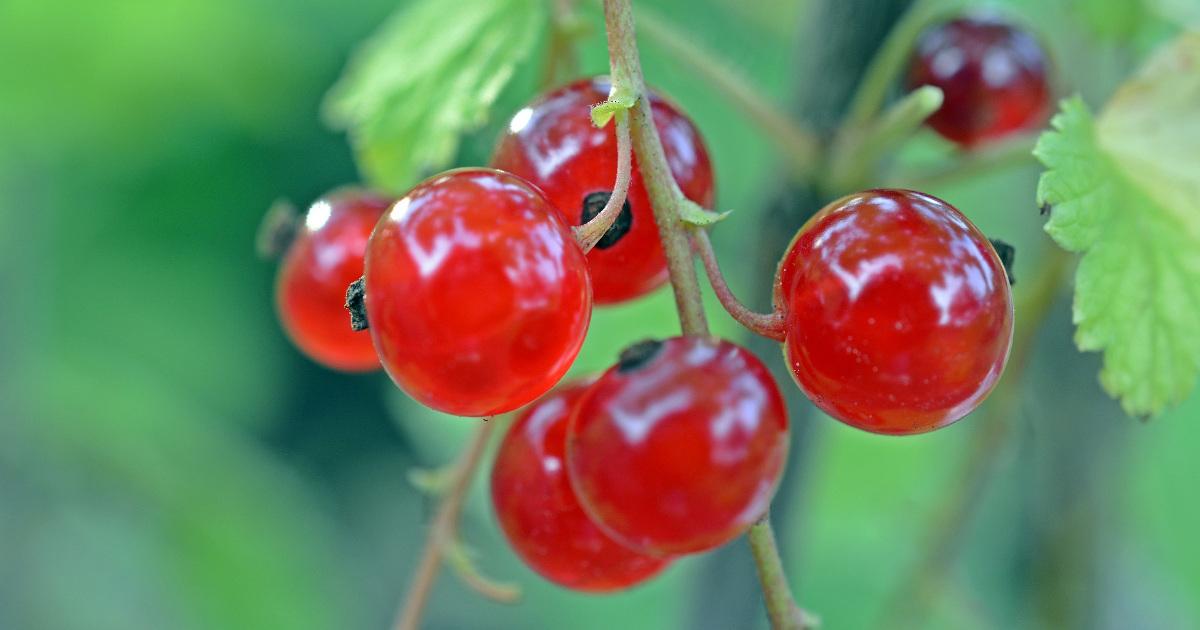 Смородина, красная смородина, ягоды