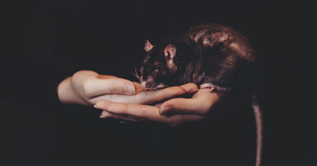 крыса, крыса на руках