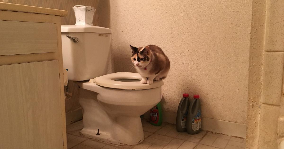 Кот сидит на унитазе